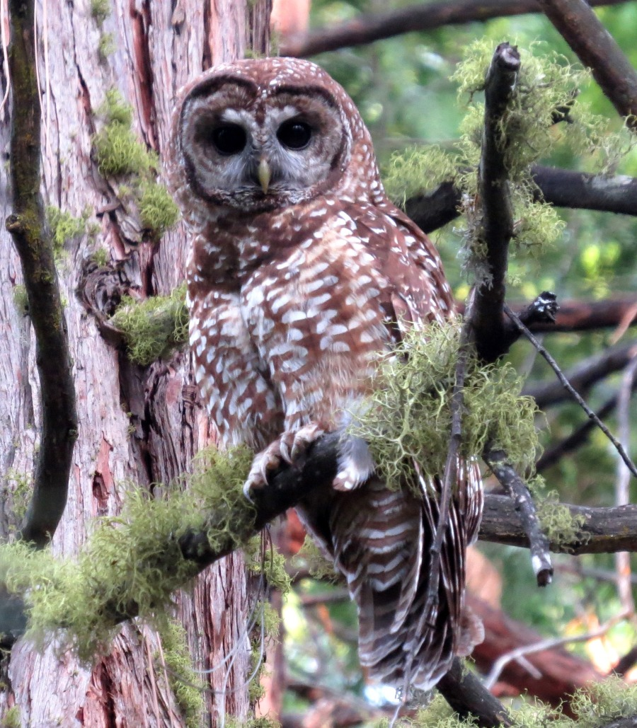 Stills - Evergreen Lodge Spotted Owl